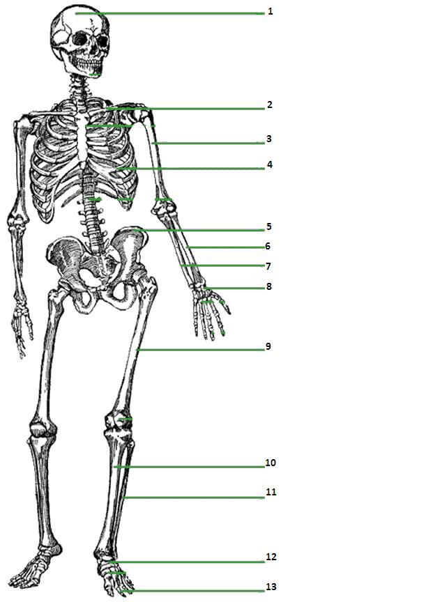дружелюбием биология скелет картинки забавные
